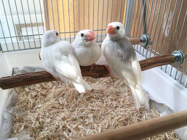 鳥は飼うのが難しい??文鳥の雛の餌ってどうしたらいいの!?